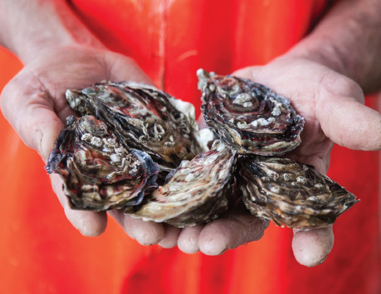 Wild Atlantic image oysters