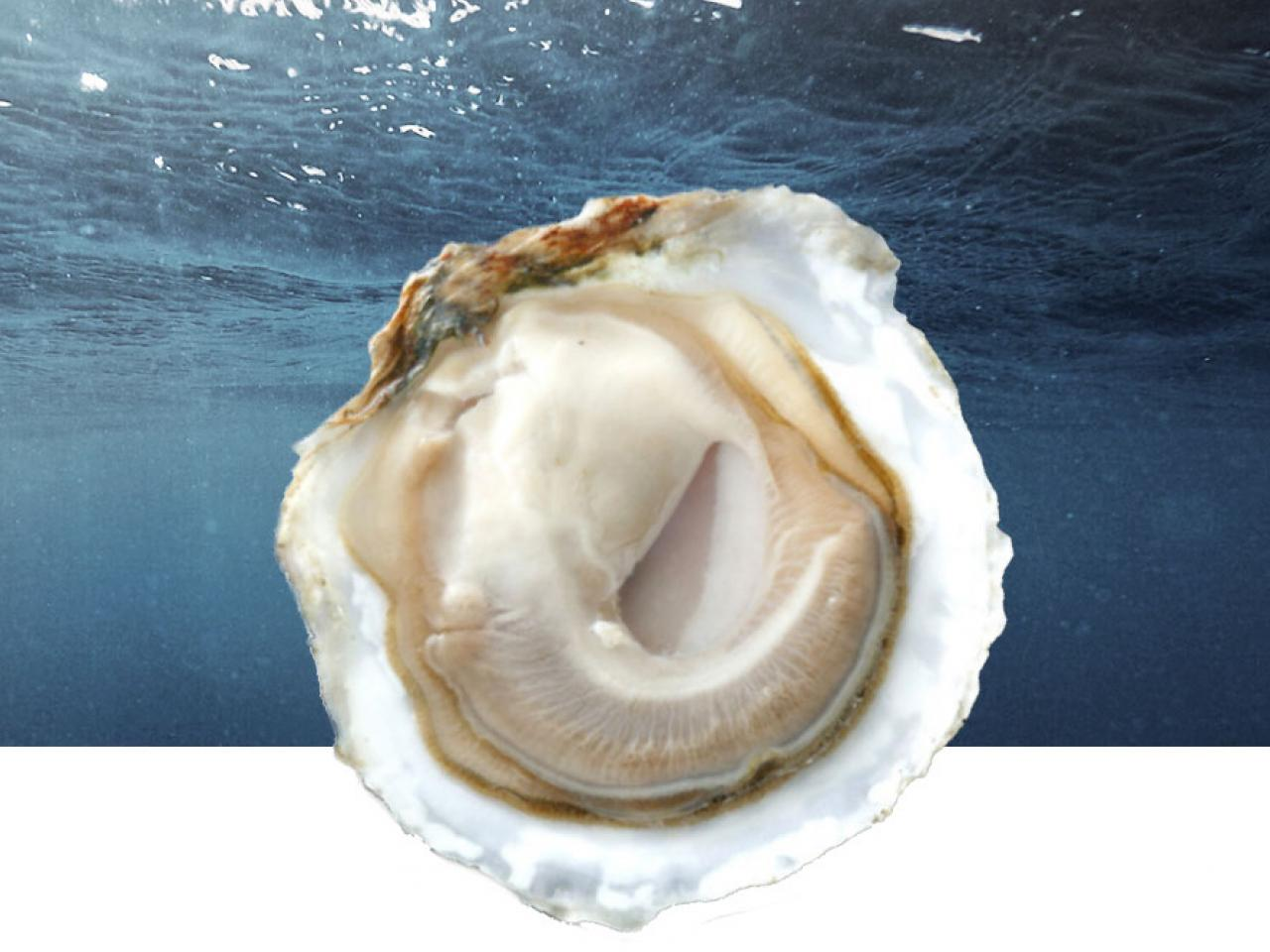 Edulis Oyster